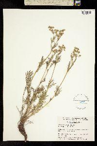 Potentilla bimundorum image