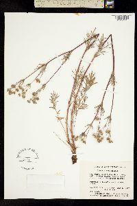 Image of Potentilla bimundorum