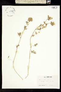 Image of Potentilla newberryi