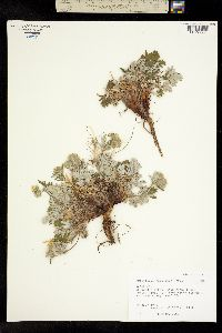 Potentilla paucijuga image