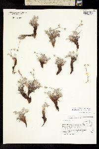 Image of Potentilla holmgrenii