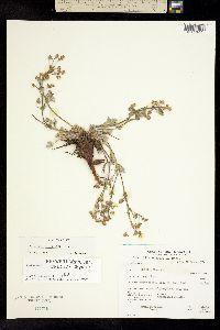 Image of Potentilla morefieldii