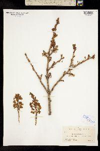 Image of Prunus subcordata