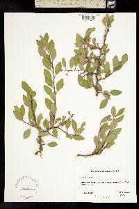 Image of Prunus watsonii