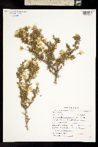 Purshia mexicana image