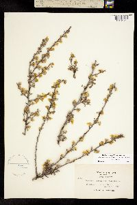 Purshia tridentata image