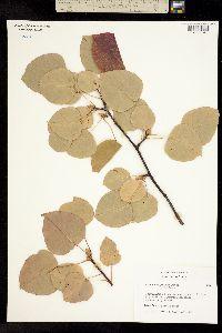 Image of Pyrus calleryana