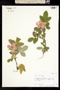 Image of Rosa acicularis
