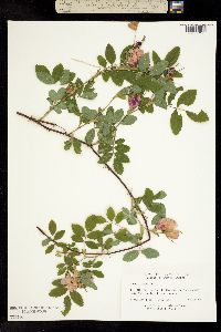 Image of Rosa cinnamomea