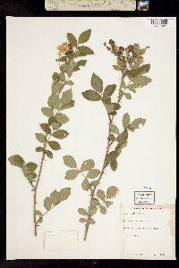 Image of Rosa aucuparia