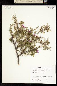Image of Rosa minutifolia