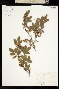 Image of Rosa palustris