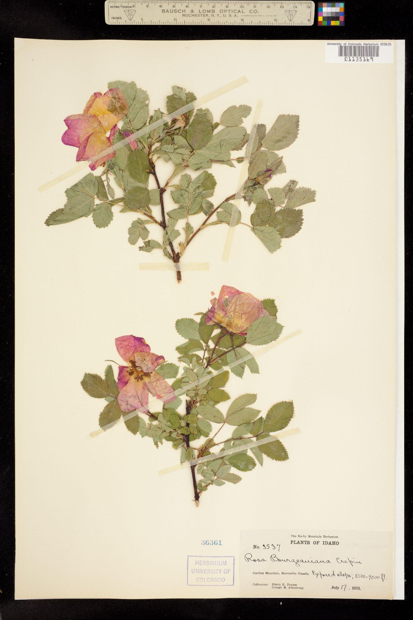 Rosa bourgeauiana image