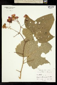 Image of Rubus odoratus