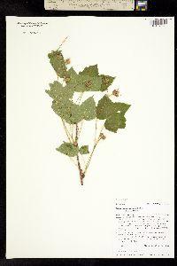 Rubus parviflorus image