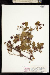 Image of Rubus honorus
