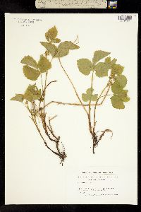 Image of Rubus saxatilis