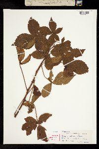 Image of Rubus setosus
