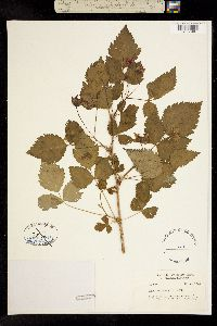 Image of Rubus spectabilis