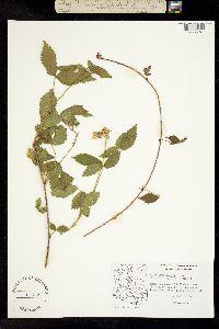 Rubus arizonensis image