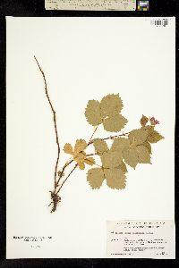 Image of Rubus alaskensis