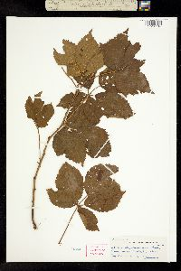 Image of Rubus bigelovianus