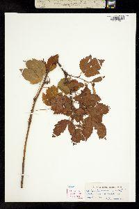 Image of Rubus x bigelovianus