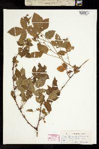 Image of Rubus grimesii