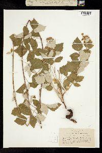 Image of Rubus glaucifolius