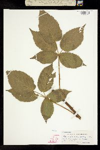 Image of Rubus facetus