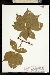 Image of Rubus heterophyllus