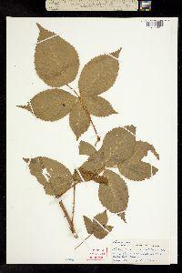 Image of Rubus janssonii