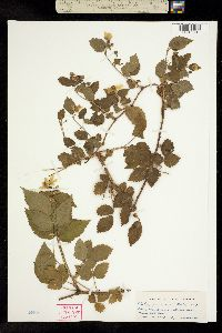 Image of Rubus x janssonii