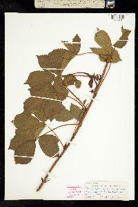 Image of Rubus novanglicus