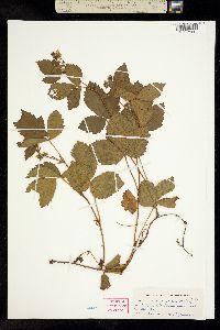 Rubus novanglicus image