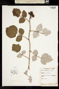 Image of Rubus phoenicolasius