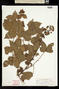 Image of Rubus x ostryifolius