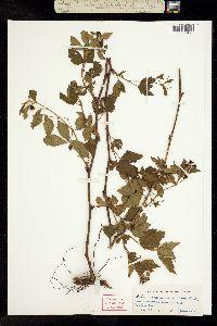 Image of Rubus recurvicaulis