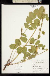 Image of Sanguisorba stipulata