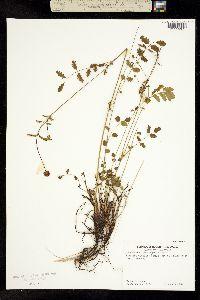 Image of Sanguisorba microcephala