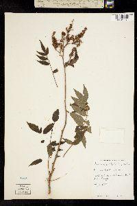 Image of Sorbaria sorbifolia