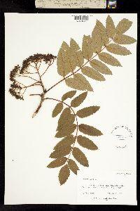Image of Sorbus americana