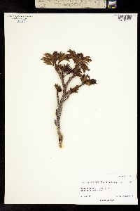 Image of Sorbus sambucifolia