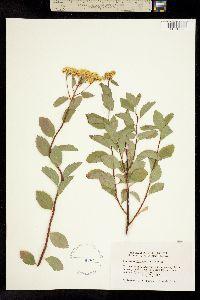Spiraea betulifolia image