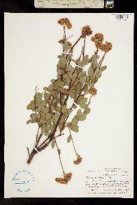 Image of Spiraea densiflora