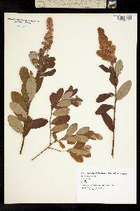 Image of Spiraea douglasii