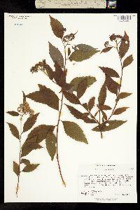 Image of Spiraea japonica