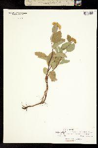 Image of Spiraea lucida