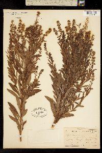 Image of Spiraea salicifolia