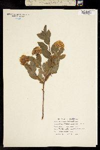 Image of Spiraea virginiana